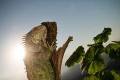 Iguana que se arrastra en un pedazo de madera y de presentación Imagen de archivo libre de regalías