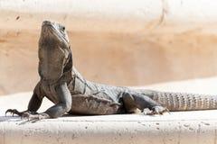 Iguana que se reclina sobre roca Imagen de archivo