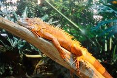 Iguana que se sienta en la ramificación fotografía de archivo