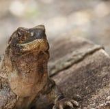 Iguana que senta-se em uma rocha que expõe-se ao sol fotos de stock royalty free
