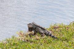 Iguana que senta-se na grama na margem Imagem de Stock