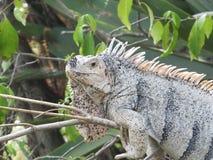 Iguana que trava alguns raios fotografia de stock