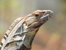 Iguana que ve a Costa Rica Foto de archivo