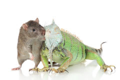 Iguana with rat together on a white background Royalty Free Stock Image