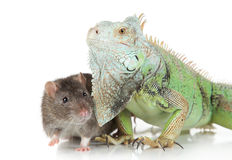 Iguana with rat on a white background Stock Photo