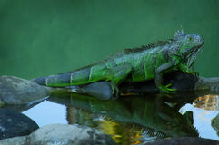 Iguana Reflection. An iguana sitting on a bed of rocks with its reflection in the water and room for type in background Stock Photos