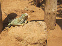 Iguana rejoices under the sun with closed eyes, in the desert on a stone, tropical lizard. Lizard stock images