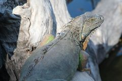 Iguana on branch Royalty Free Stock Images
