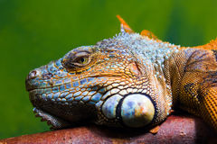 Iguana relaxing on a branch. Close-up of a male Green Iguana (Iguana iguana) relaxing on a branch. Green background Stock Images