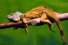 Iguana relaxing on a branch. Close-up of a male Green Iguana (Iguana iguana) relaxing on a branch. Green background Stock Image