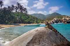 Iguana relaxing on a rock in the sun in National park Tayrona royalty free stock images