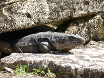 Iguana relaxing in the sun Royalty Free Stock Image