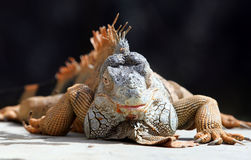 Iguana. An iguana released freely in a park in the city of Solo, Central Java, Indonesia Royalty Free Stock Images