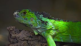 Iguana reptil de color verde oscuro tranquila increíble del camaleón de la especie que se sienta en banco del árbol observando la metrajes