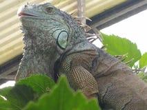 Iguana. Reptil habitat nature outdoors free Stock Photos