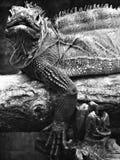 Iguana Reptile Royalty Free Stock Images
