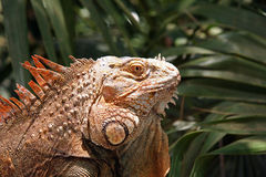 Iguana Reptile. Iguana Looking on royalty free stock images