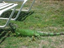 Iguana Reptile Anguilla. Caribbean Grass Green Stock Photos