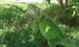 Iguana Reptile. Anguilla Plant Green Stock Photo