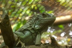 Iguana is a reptile of the chameleon species. royalty free stock photography