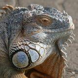 Iguana. / reptile - Close-up head shot Royalty Free Stock Image