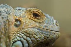 Iguana Reptile Close Up Photo. Shallow dof stock photos