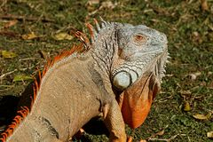 Iguana, Reptile, Lizard, Dragon Stock Photos