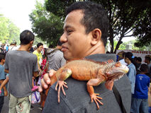 Iguana. Reptile lovers  introduce iguana to the public at a park in the city of Solo, Central Java, Indonesia Royalty Free Stock Images