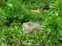 Iguana. Reptile of the same suborder as the lizard, of large size that has the scaly body, a generally large dewlap and a long ridge that runs its back; It feeds Royalty Free Stock Photography