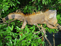 Iguana. Reptile of the same suborder as the lizard, of large size that has the scaly body, a generally large dewlap and a long ridge that runs its back; It feeds Stock Photo