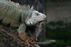 Iguana. Reptile Iguana with an sharp eye Royalty Free Stock Photo