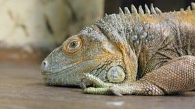 Iguana reptile stock footage