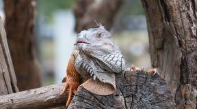 Iguana reptile on tree Royalty Free Stock Image