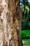 Iguana reptile on a tree trunk. In a forest Royalty Free Stock Image