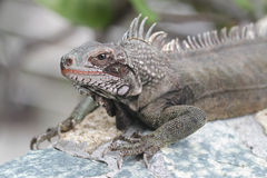 Iguana Reptile Stock Photos