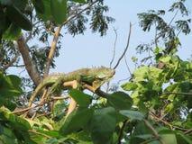 Iguana reptiles exotic tropics Asia Thailand Siam Stock Images