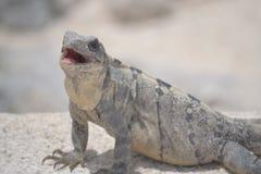Iguana, reptiles, naturaleza, zonas tropicales, el Caribe, Yuca Imagen de archivo libre de regalías