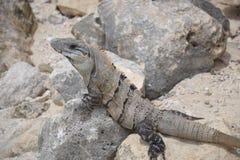 Iguana, reptiles, naturaleza, zonas tropicales, el Caribe, Yuca Fotos de archivo