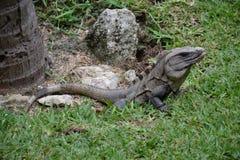 Iguana, reptiles, naturaleza, zonas tropicales, el Caribe, Yuca Imagen de archivo