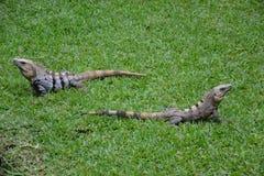 Iguana, reptiles, naturaleza, zonas tropicales, el Caribe, Yuca Fotografía de archivo
