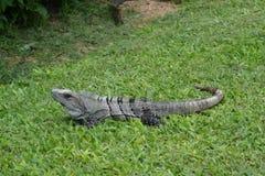 Iguana, reptiles, naturaleza, zonas tropicales, el Caribe, Yuca Foto de archivo