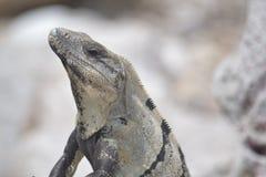 Iguana, reptiles, naturaleza, zonas tropicales, el Caribe, Yuca Fotos de archivo libres de regalías