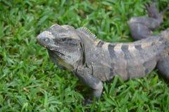 Iguana, reptiles, naturaleza, zonas tropicales, el Caribe, Yuca Imágenes de archivo libres de regalías