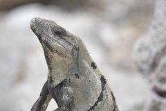 Iguana, reptiles, Nature, tropics, Caribbean, Yuca Royalty Free Stock Photos