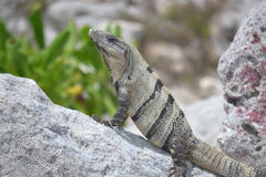 Iguana reptiles wild exotic tropics Mexico Stock Photo