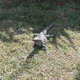 Iguana in the resort hotel Stock Photo