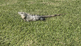 Iguana in the resort hotel Royalty Free Stock Images