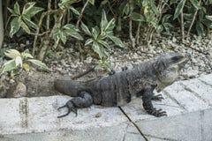 Iguana in the resort hotel Stock Photos
