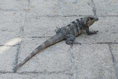 Iguana in the resort hotel Stock Image