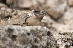 Iguana at rest Stock Image